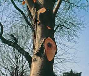 SCS Trees - Tree Pruning Information