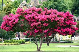 crepe myrtle pruning service