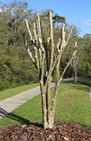 crepe myrtle pruning company
