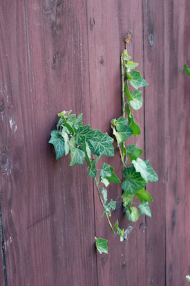 Ivy-removal-from-fences