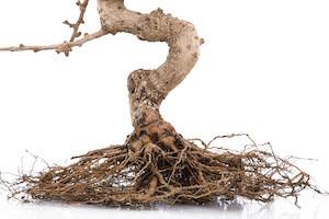 Woodstock-Tree-Roots