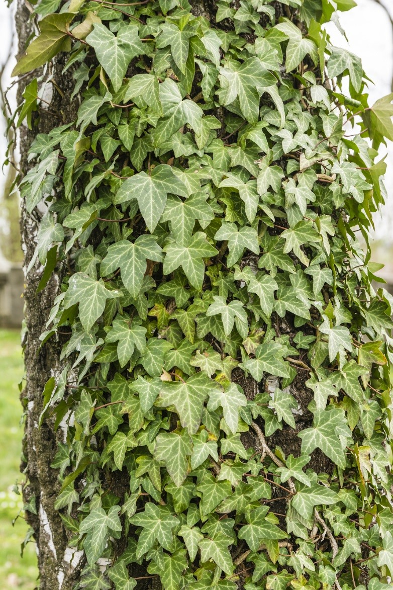 Call Tree Service Right Away When You Have These Kinds of Ivy Problem